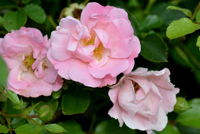 1408-rosa-vent-d'été