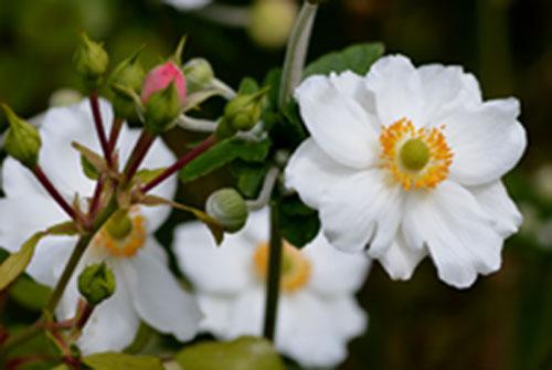 anemone-japonaise-Honorine-