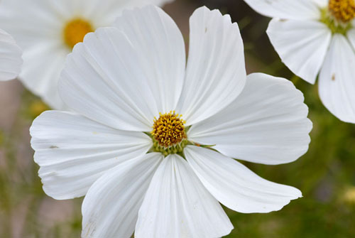 cosmos-blanc2