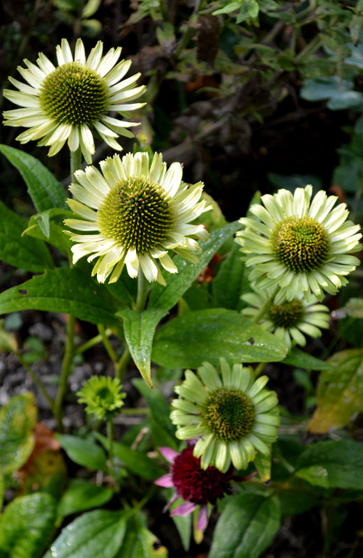 140929echinacea-green-jewel