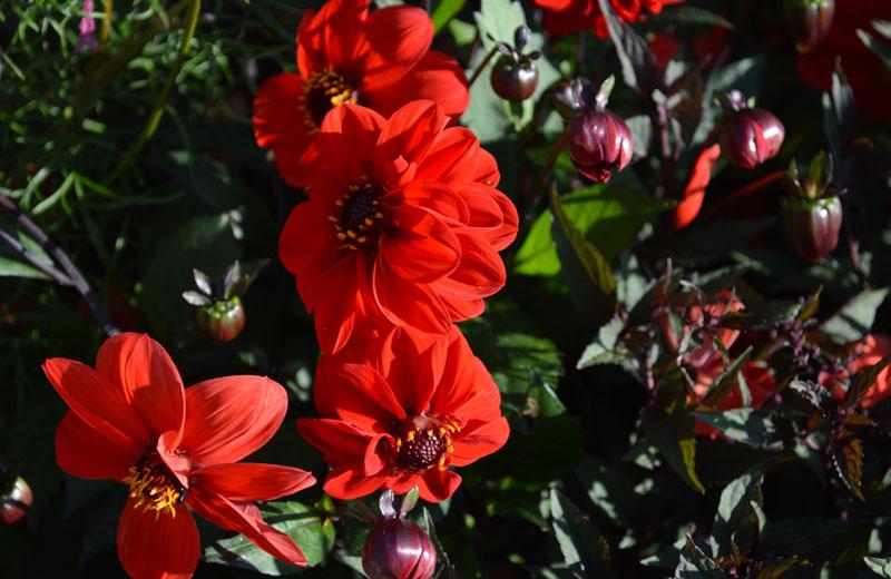 rouge-feuilles-foncées