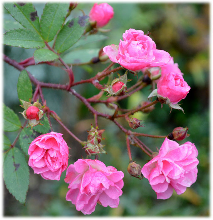 141203heavenly-pink
