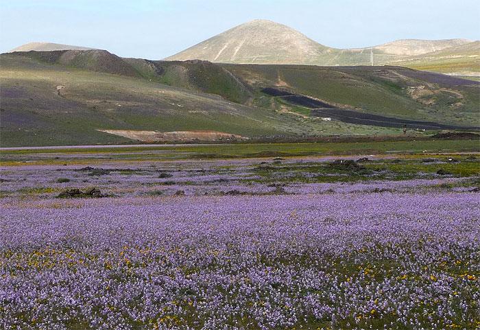 1502-fleurs-bleues