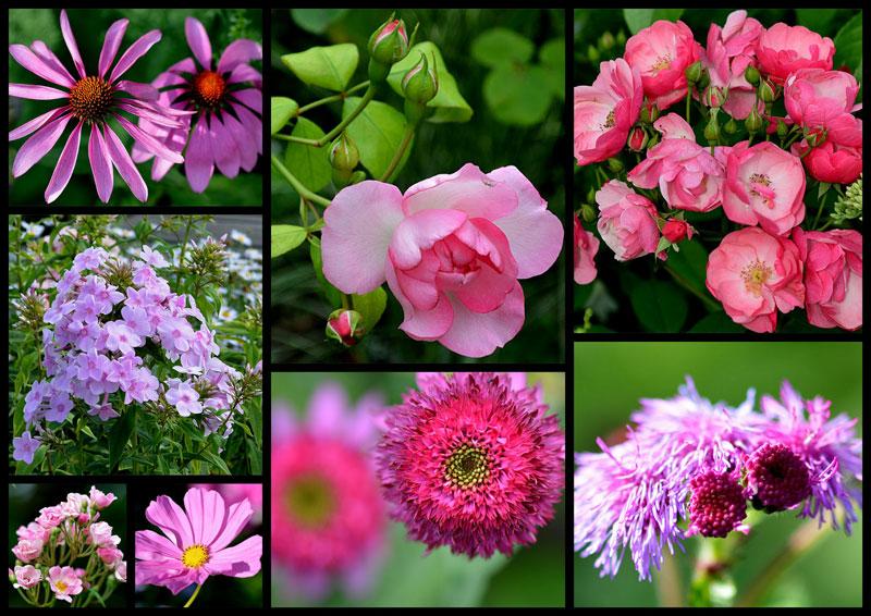 montage-rose