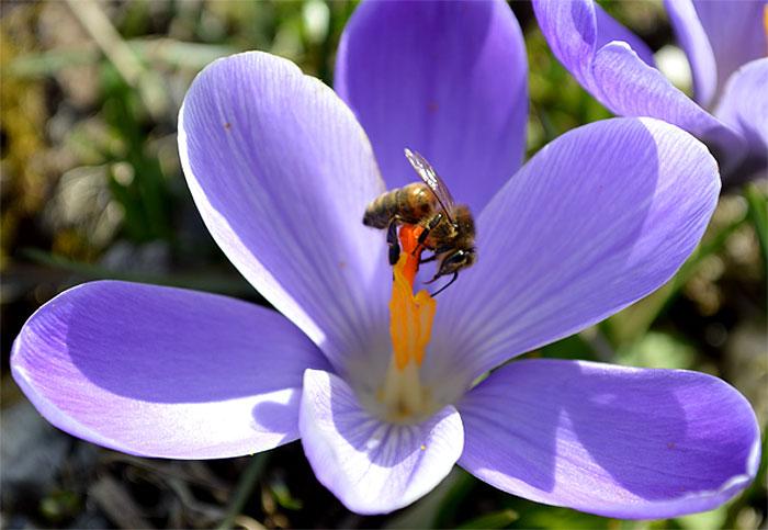 150309crocusbees-frogsp1