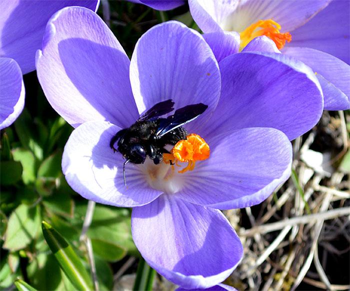 150309crocusbees-frogsp5