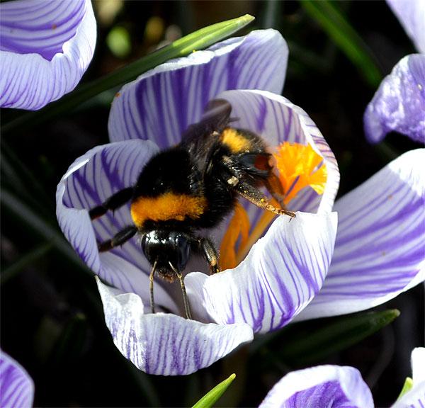 150309crocusbees-frogsp6