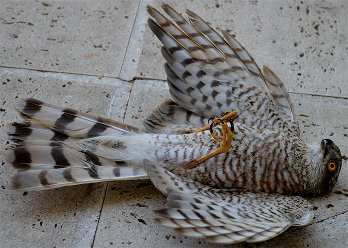 150802rescued-sparrowhawk1