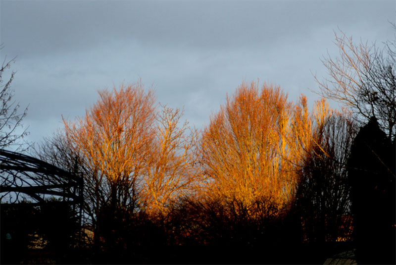 1511goldenrees1