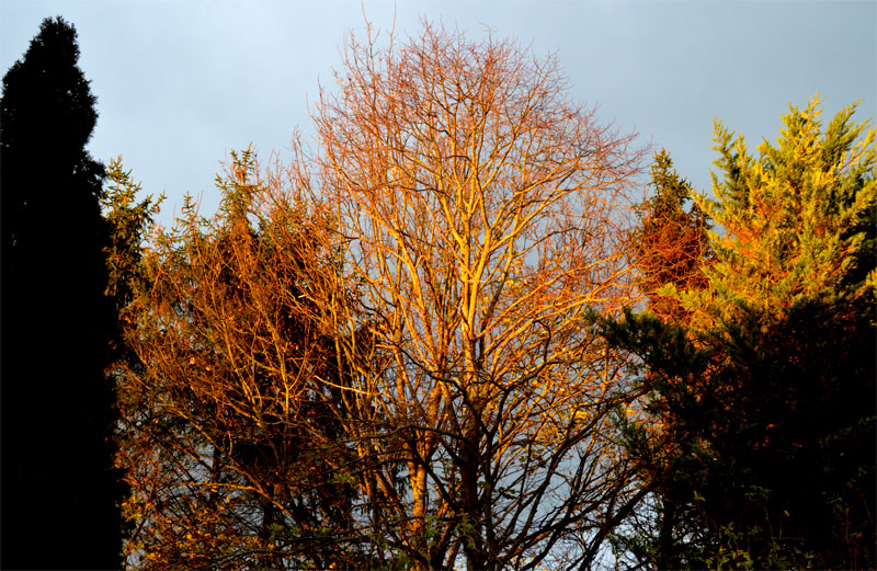 1511goldenrees2