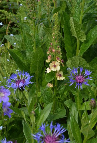 160528Jacky,JohnsonBlue,Centaurea,Myosotis
