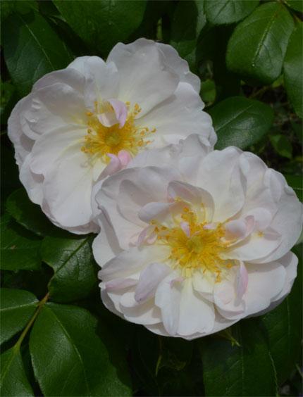 160528Sourire-d'orchidée