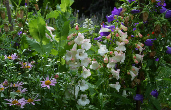 160711PenstemonAppleBlossom,CampanulaMediumChrysanthemeClaraCurtis
