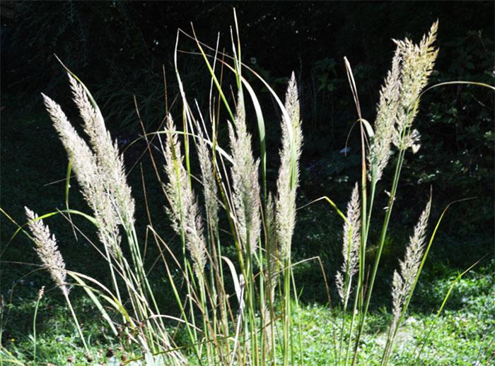 160929calamagrostisbrachytricha