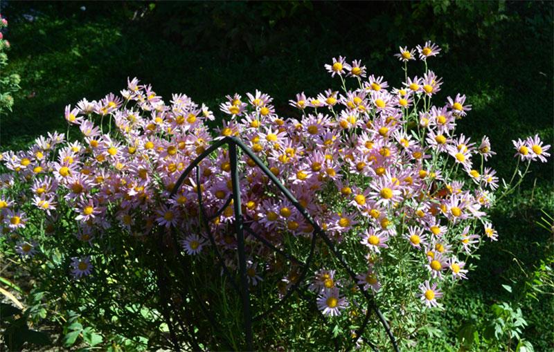 160929chrysanthemumclaracurtis