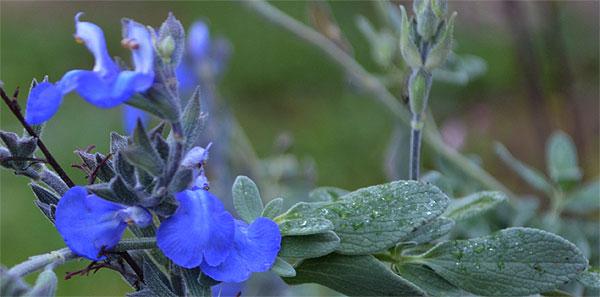 161106salviamicrophylla