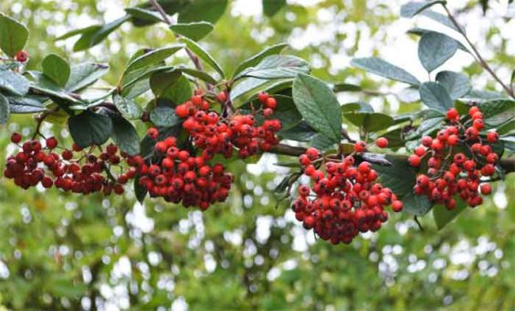 171027Cotoneaster